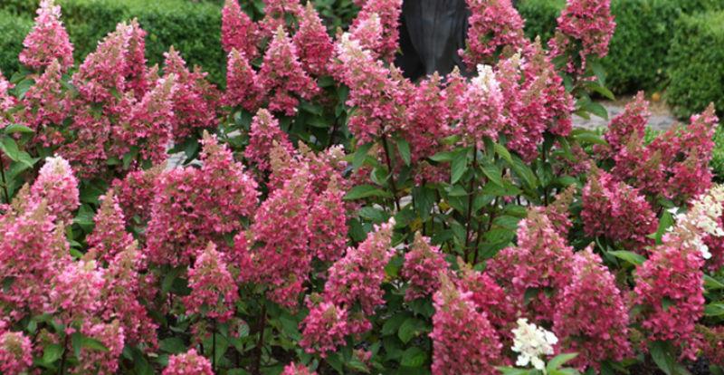 Pinky Winky Hydrangea Garden Giveaway